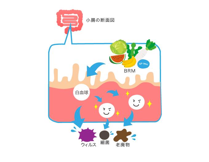 小腸の断面図